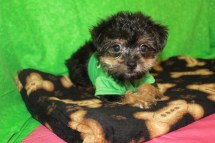 Snookums Male CKC Havashire $1750 BUT WAIT PUPPY SPECIAL $1250 Ready 4/7 9W3D 2.9LBS SOLD MY NEW HOME CALLAHAN, FL