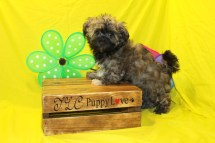 Goofy Male CKC Havashu $1750 BUT WAIT PUPPY SPECIAL $1250 Ready 5/11 SOLD MY NEW HOME NOKOMIS, FL