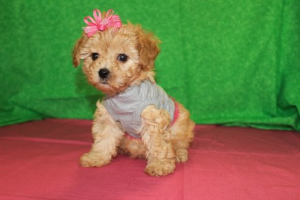 Tuti Fruiti Female CKC Morkipoo $1750 Ready 4/26 SOLD MY NEW HOME TAMPA, FL 6W5D 2.3 LBS