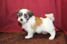Roxie Female CKC Malshi $1750 Ready 6/3 SOLD MY NEW HOME OLNEY, MD 1.8 LBS 5W2D