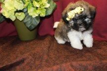 Mercedes Female CKC Shihpoo $1750 Ready 5/21 SOLD MY NEW HOME JACKSONVILLE, FL 7W2D 1.13 lbs