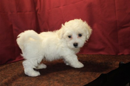 Peter Male CKC Havamalt $1750 PUPPY SPECIAL $1500 Ready 5/21 SOLD MY NEW HOME PLAINFIELD, IL 2.7 Lbs 7W3D