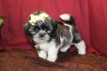Kia Female CKC Shihpoo $1750 Ready 5/21 SOLD MY NEW HOME NAPLES, FL 7W2D 2.4 Lbs