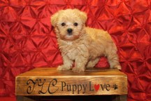 Eggy Male CKC Maltipoo $1750 Ready 5/15 SOLD 6W2D 1.14 lbs