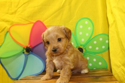 Justin Male CKC Havapoo $1700 Ready 7/1 HAS DEPOSIT MY NEW HOME New York, NY 1.1Lbs 4W2D