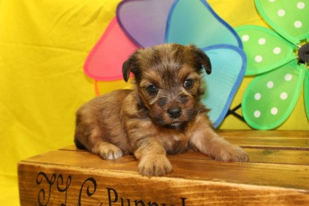 Sunny Female CKC Yorkipoo $1700 Ready 7/13 AVAILABLE 1.12lbs 3W2D