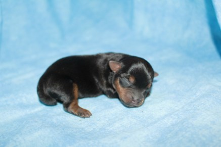 Snickers Male CKC Yorkie $1750 Ready 7/25 AVAILABLE 5 oz Just Born