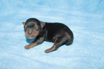Reeses Male CKC Yorkie $1750 Ready 7/25 AVAILABLE 4.3 oz Just Born