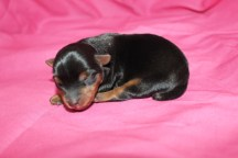 Candy Female CKC Yorkie $1750 Ready 7/25 AVAILABLE 6oz Just Born