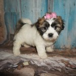 Has Deposit Meet Ginger Spice Female Teddy Bear Puppy A K A Ckc Shichon She Is One Of A Kind Tlc Puppy Love