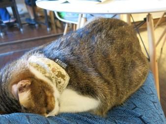 Cat napping lap cat.