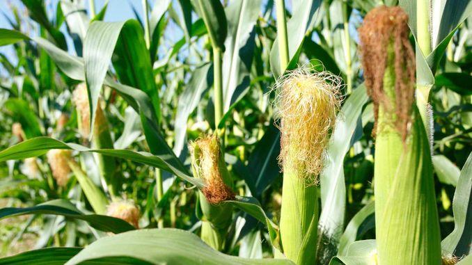 Отримано ГМ-кукурудза, нейтралізує смертельні афлатоксини