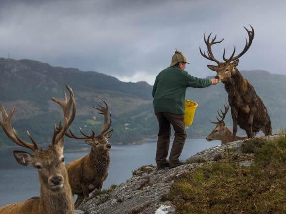 Поселення оленів в шотландському Лохкарроне