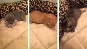Collage of Sugar's Kittens