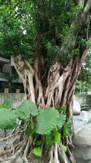 台北「青田七六」老樹