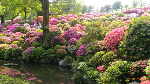 根津神社 ,杜鵑花滿開-2