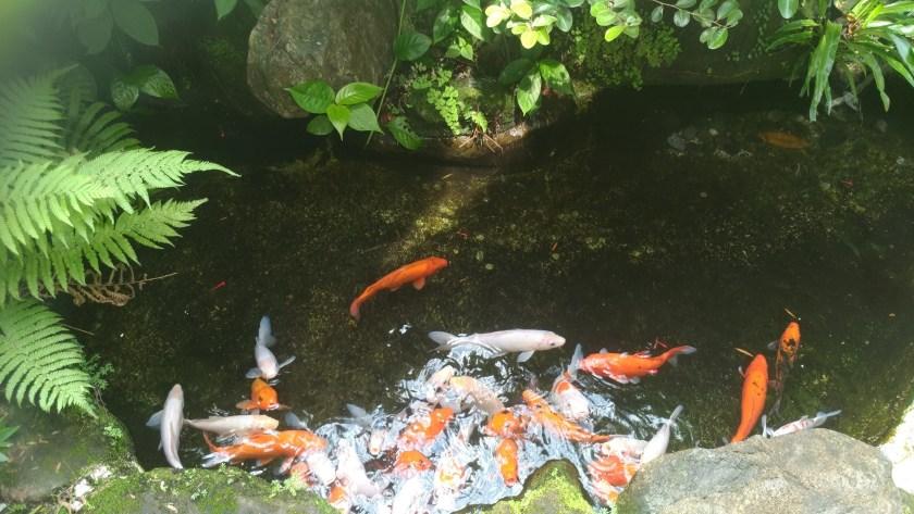 紫藤廬 茶館 金魚