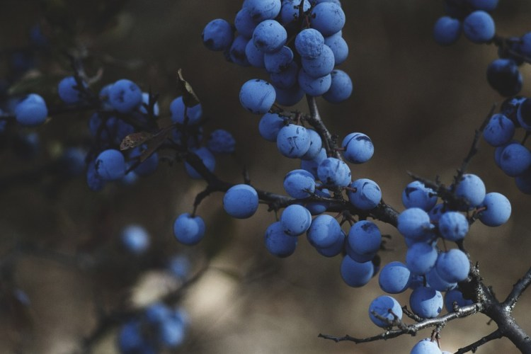 More Grass Needed for Better Smiling Blueberries, Discover Scientists