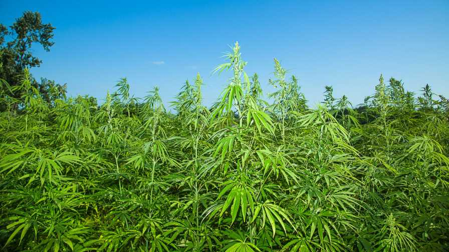 Increased Demand for Use in Various Industrial Processes Drives Industrial Hemp Market