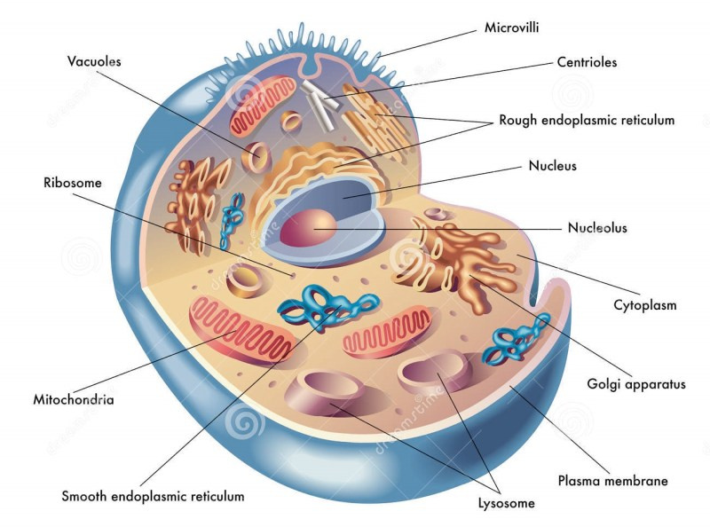 human body cell