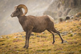 Bighorn Sheep In A Storm