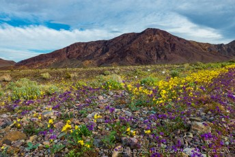 Superbloom Near Daylight Pass