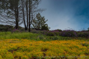 Figueroa Mountain Poppies and Lupine