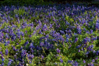 Sea of Lupine, Figueroa Mountain