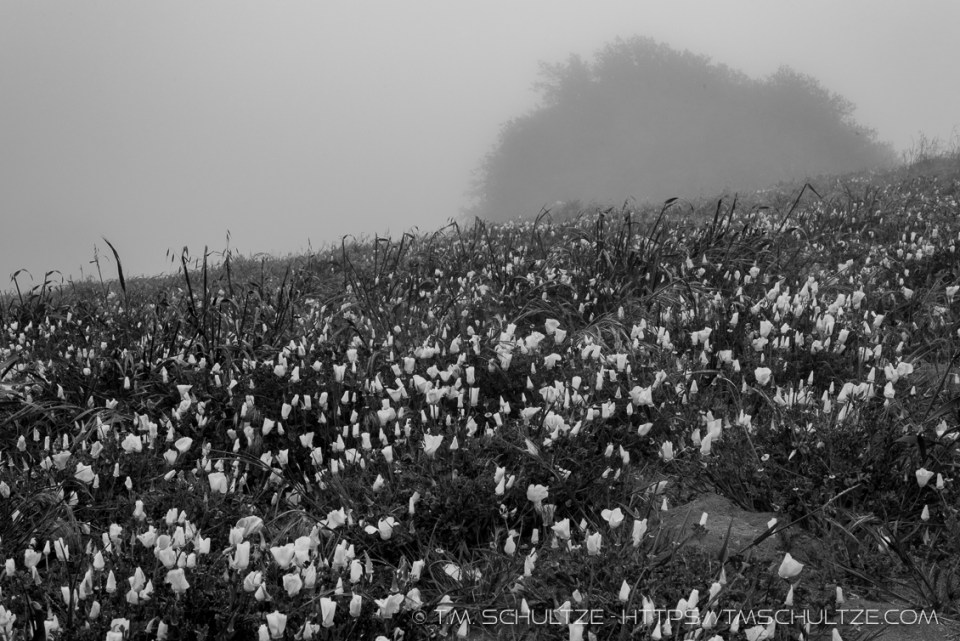 Volcan Mountain California Poppies, Black and White, by T.M. Schultze
