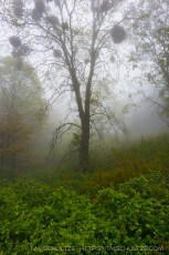 Volcan Mountain Tree In Fog