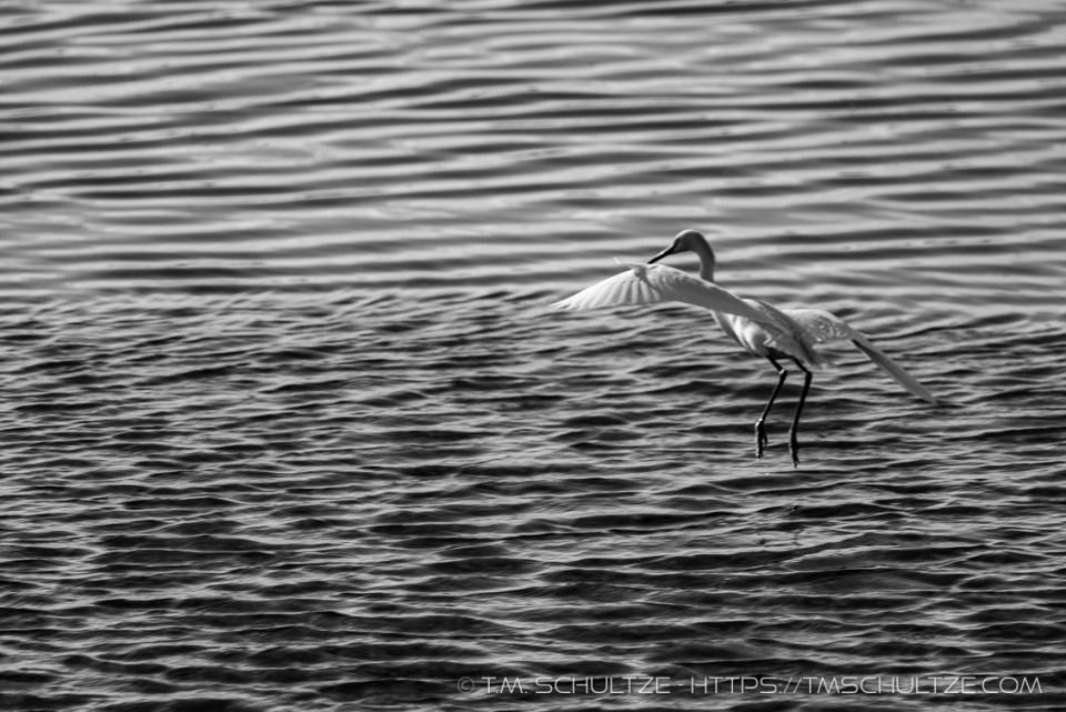 Snowy Egret, Ocean Beach River Channel