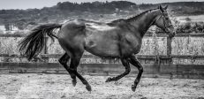 Thoroughbred in flight_equinePhotography