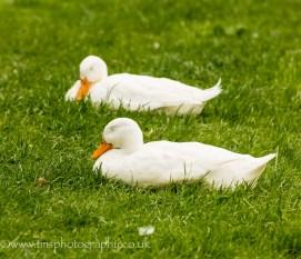 Dozing Ducks
