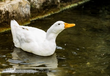 Happy duck