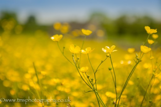 singled out buttercup