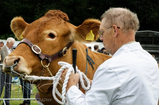 Cattle-TMPhotos-AshbourneShow2014