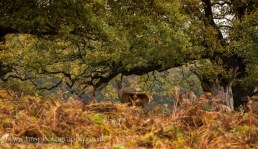 Red Deer Doe_BradgatePark
