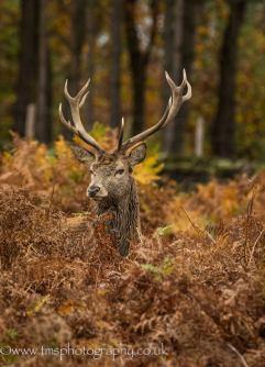 Red Deer Stag-2
