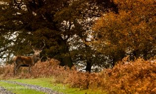 Red Stag_bradgate Park
