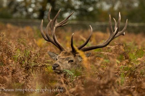 `Stag _ Deer