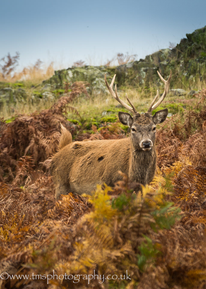 Young Red Deer Stag-2