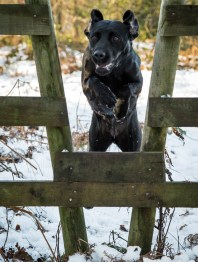 Black_Labrador_CalkeAbbey_tmsphotography-33