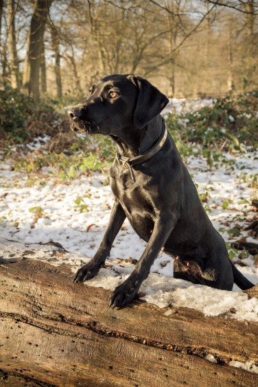 Black_Labrador_CalkeAbbey_tmsphotography-40
