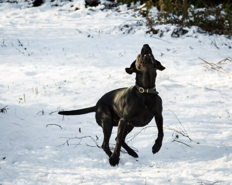 Black_Labrador_CalkeAbbey_tmsphotography-43