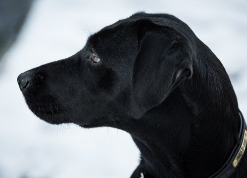 Black_Labrador_CalkeAbbey_tmsphotography-46