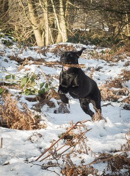 Black_Labrador_CalkeAbbey_tmsphotography-61