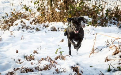 Black_Labrador_CalkeAbbey_tmsphotography-74
