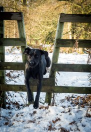Black_Labrador_CalkeAbbey_tmsphotography-80