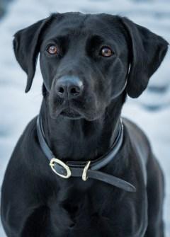 Black_Labrador_CalkeAbbey_tmsphotography-84