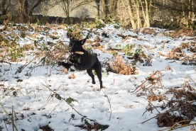 Black_Labrador_CalkeAbbey_tmsphotography-93